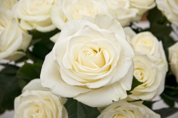 White rose closeup