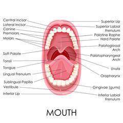 Anatomy of Human Mouth