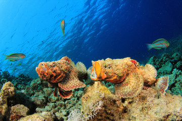 Two Devil Scorponfish fighting
