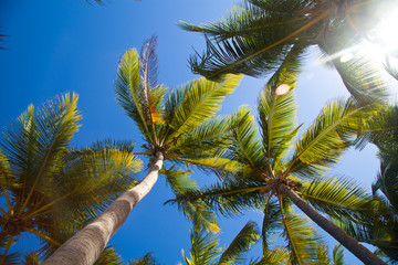 Coconuts palm trees perspective view from floor high up