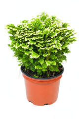 Green selaginella in red pot