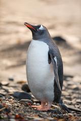 Fat Gentoo Penguin in South Georgia, Antarctica