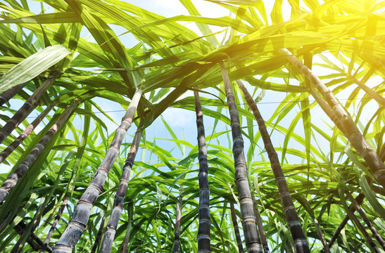 sugarcane crops in growth in field