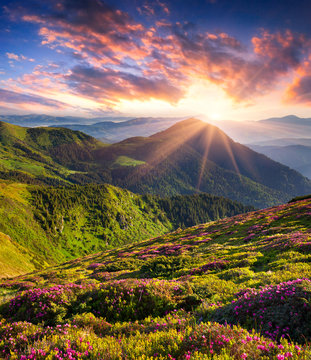 Magic pink rhododendron flowers in summer mountain