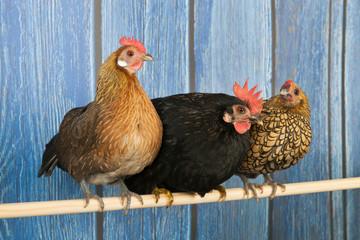 Chickens in henhouse