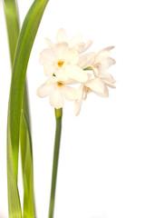 Photo sur Plexiglas Narcisse Narcisse blanc sauvage isolé fond blanc