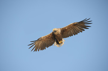 Eagle in flight.