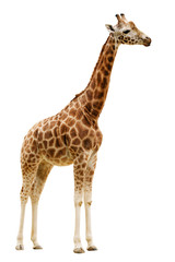 Wall Murals Giraffe Giraffe isolated on white background.