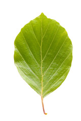 Single beech tree leaf on white background