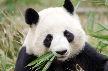 Photo sur Aluminium Panda Giant Panda eating bamboo, Chengdu, China