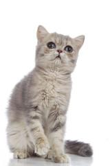 persian kitten isolated on white