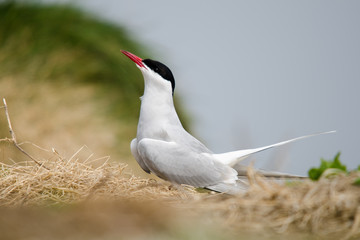 Fototapete - UK Farne Island Arctic Tern