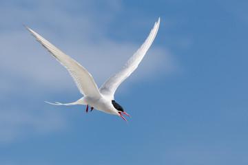 Fotoväggar - UK Farne Island Arctic Tern