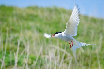 Klistermärke - UK Farne Island Artic Tern