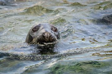Fotoväggar - UK Farne Island Grey Seal