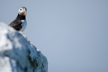Wall Mural - UK Farne Island Puffin