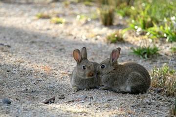Baby Rabbits in Braeside Park, Melbourne, Australia