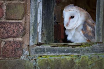 Fotoväggar - UK Barn Owl