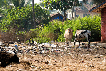 Sacred Cows in India feeding on garbage