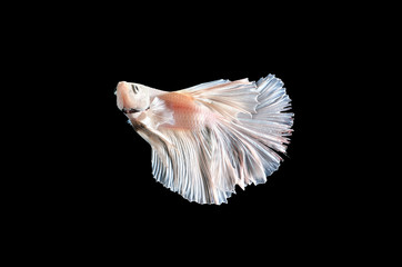 White fighting fish, betta on black background