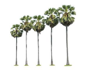 Sugar palm trees