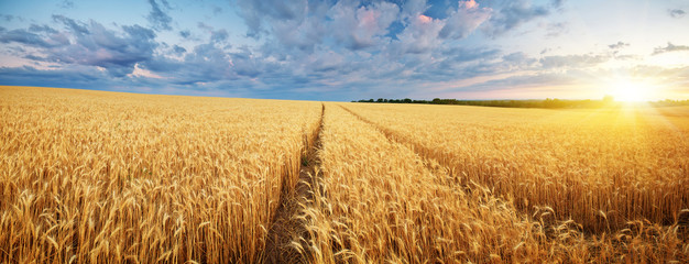 Photo sur Plexiglas Culture Meadow of wheat.