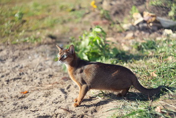 little cat of abyssinian hunting over green grass background