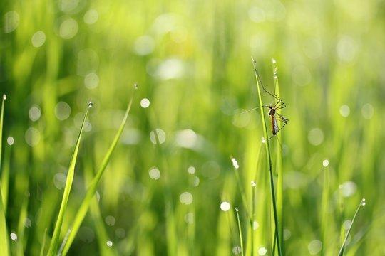 Schnake im nassenGras / crane fly in the wet grass