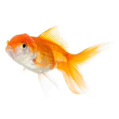 Close up of swimming goldfish, isolated on white