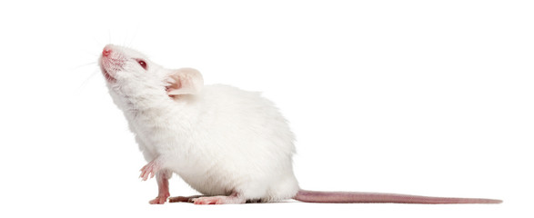 side view of an albino white mouse looking up mus musculus buy