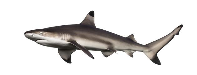 Side view of a Blacktip reef shark, Carcharhinus melanopterus Wall mural