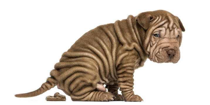 Side view of a Shar Pei puppy defecating, looking at the camera