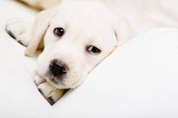 Close up of sad puppy of labrador lying on the sofa