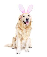 golden  retriever dressed up as bunny