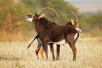 Pair of sable antelopes