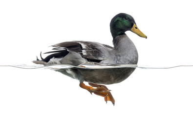 Side view of a Mallard floating on the water, Anas platyrhynchos Wall mural