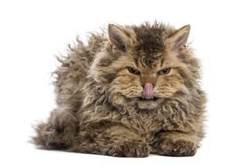 Front view of a grumpy Selkirk rex lying, licking its lips
