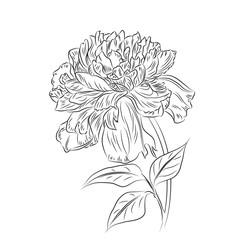 Sketch hand drawn peony flower.Vector illustration/EPS 8