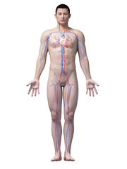 illustration of the vascular system of an asian male guy