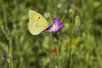 Papillon jaune butine fleur violette