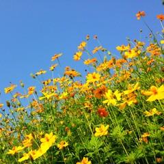 Yellow cosmos field under blue sky