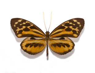 Tithorea harmonia gilberti butterfly