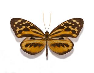 Tithorea harmonia gilberti butterfly