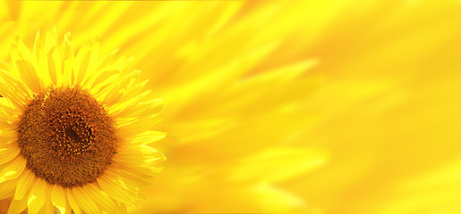 Wall Mural - Banner with sunflower