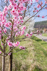 Junger Mandelbaum mit zarten Mandelblüten im Frühling