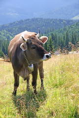 Cow on a pasture in Carpathian mountains