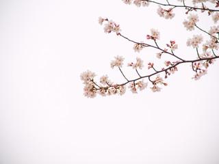 Yoshino cherry tree in full bloom in the sky back