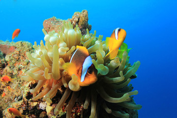 Nemo Fish Pair (Red Sea Anemonefish)