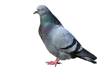 isolated male pigeon Fotomurales