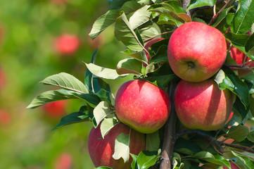 Rote Äpfel am Baum, Apfelbaum, Obstanbau, Plantage